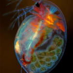 Ovarios de mosca
